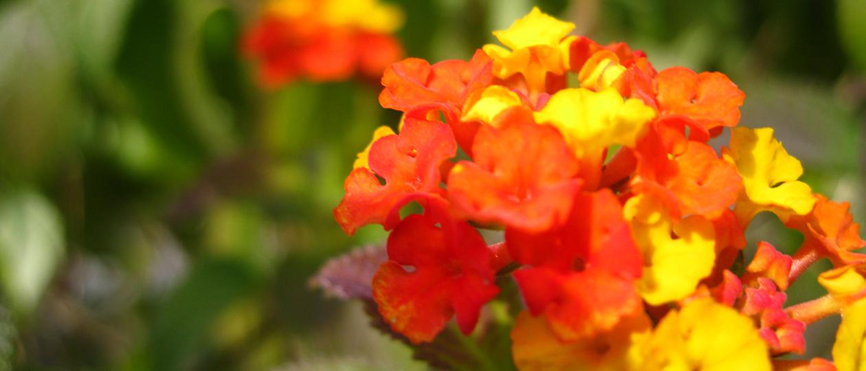 Blumen-Krauß
